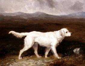 Charles Brett's White English Setter 'Sam' in a Moorland Landscape