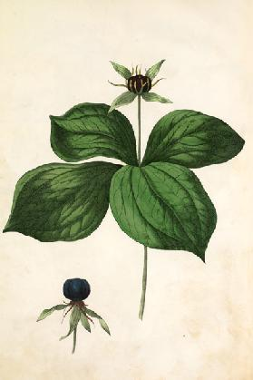 Herb-paris / Lithograph by Hochstetter
