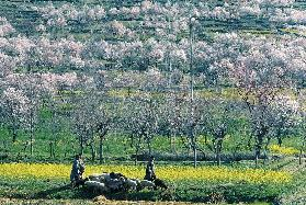 Almond trees and mustard flowers in bloom dotting hill-slope, Pampore, Srinagar (photo)