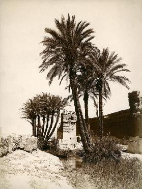 Date palm / Morocco / Photo c.1900