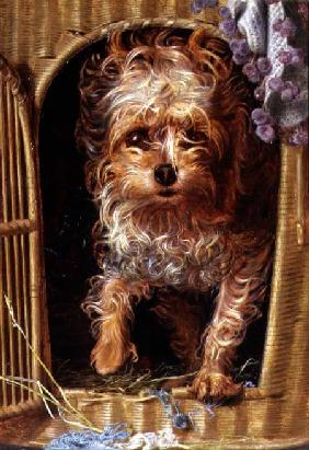 Darby, a Yorkshire Terrier
