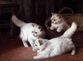 Three White Angora Kittens