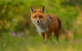Red Fox Lady