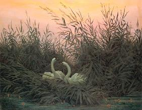 Swans in the Reeds