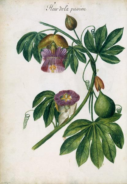 Passionflower / Ch.Plumier