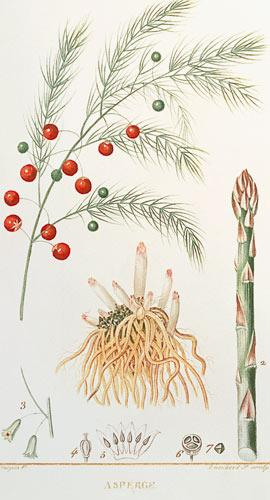"Asparagus: from ""Flore Medicale"", 1814"