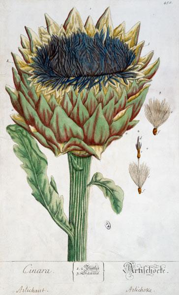 Artichoke, from 'Herbarium Blackwellianum'