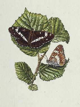 White Admiral Butterfly on Hazel leaves (w/c)