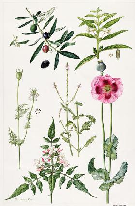 Opium Poppy and other plants (w/c)