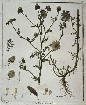 Anthemis arvensis / Etching