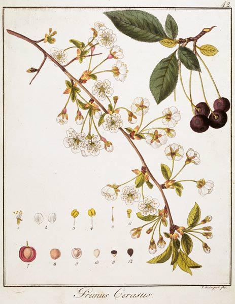 Cherry / Etching by Guimpel