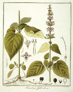 Deadnettle / Etching / Haas