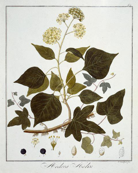 English Ivy / Etching / Guimpel