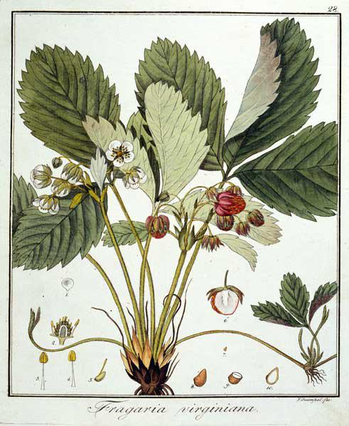 Strawberry / Guimpel / Etching / 1816