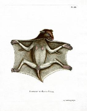 Philippine Flying Lemur