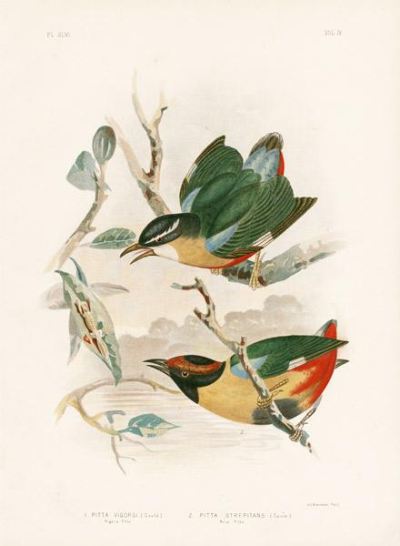 Vigor'S Pitta Or Elegant Pitta