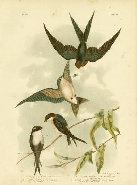 Welcome Swallow Or Pacific Swallow