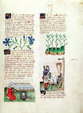 Ms Lat 993 L.9.28 Fol.142r Cornflowers, making pancakes, sugar cane and making sugar syrup, from 'Tr