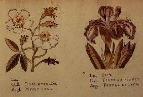 Rose and Iris, from 'La Clef des Champs'