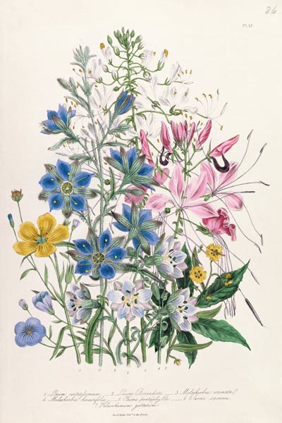 Cornflower, plate 15 from 'The Ladies' F - Jane Loudon as