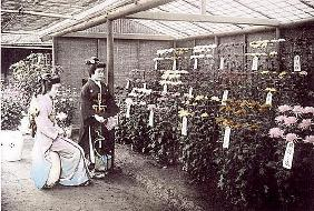 A rich display of chrysanthemums, 1905 (hand coloured photo)