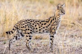 Serval hunting