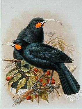 Huia, illustration from 'A History of the Birds of New Zealand' by W.L. Buller