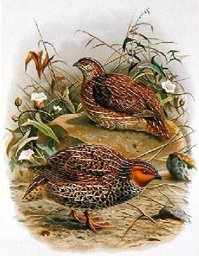 New Zealand Quail, illustration from 'A History of the Birds of New Zealand' by W.L. Buller