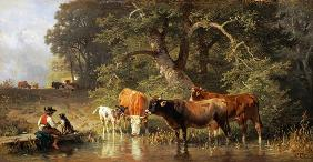 Cattle watering at a woodland pond
