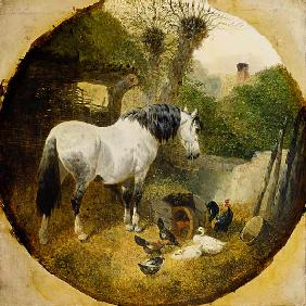 A Carthorse eating hay from a wheel-barrow in a farmyard