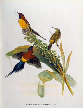 Nectarinia Gouldae from 'Tropical Birds'