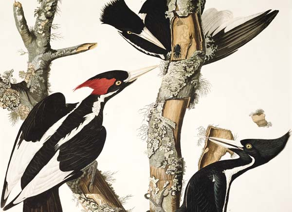 Ivory Billed Woodpecker From 39 Birds Of John James