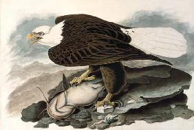 The white-headed eagle (from The Birds of America)