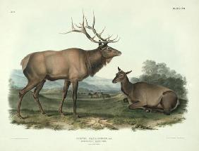 Cervus Canadensis (American Elk, Wapiti Deer), plate 62 from 'Quadrupeds of North America', engraved