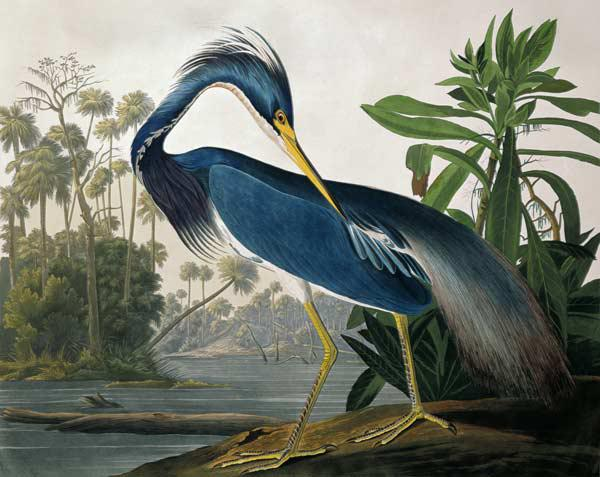 Louisiana Heron, from 'Birds of America', engraved by Robert Havell (1793-1878) 1834 (coloured engra