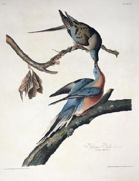 Passenger Pigeon, from 'Birds of America', engraved by Robert Havell (1793-1878) published 1836 (col