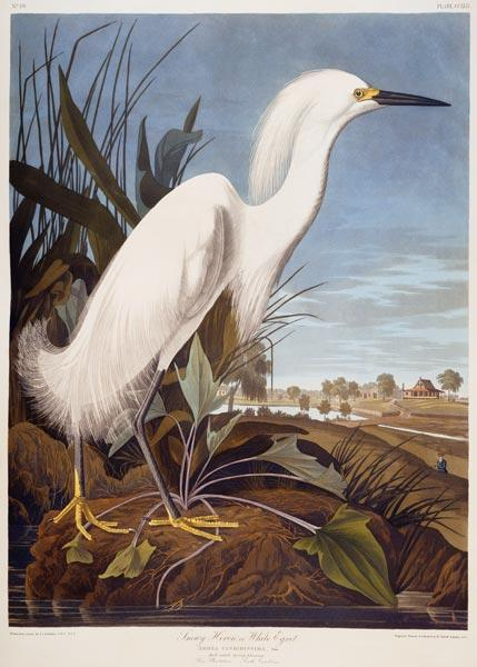 Snowy Heron, or White Egret (Egretta Thula),  Rice Plantation, South Carolina From ''The Birds Of Am