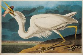 Great White Heron, from 'Birds of America', engraved by Robert Havell (1793-1878) 1835 (coloured eng
