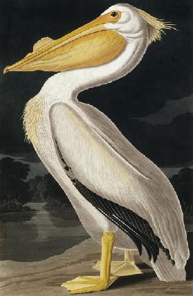 American White Pelican, from 'Birds of America', engraved by Robert Havell (1793-1878) published 183