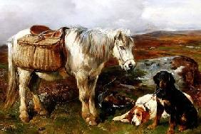 Highland Pony with Dogs