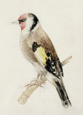 Goldfinch, from The Farnley Book of Birds, c.1816 (pencil and w/c on paper)