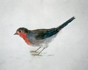 Robin, from The Farnley Book of Birds, c.1816 (pencil and w/c on paper) 19th