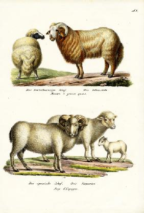 Fat-Tailed Sheep