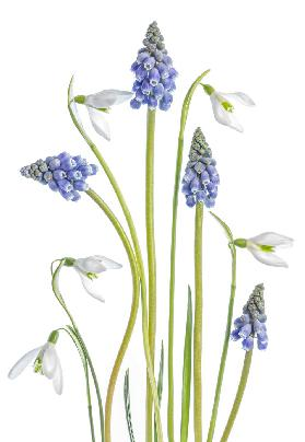 Muscari and Galanthus