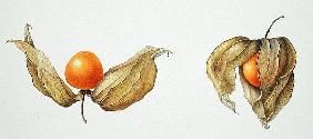Cape Gooseberries (Physalis peruviana) 1996 (w/c on paper)