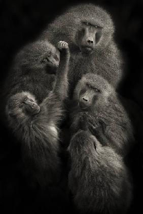 "Baboons "" UNITED """