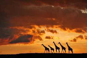 Five Giraffes