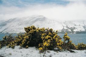 Spring snow on gorse (photo)