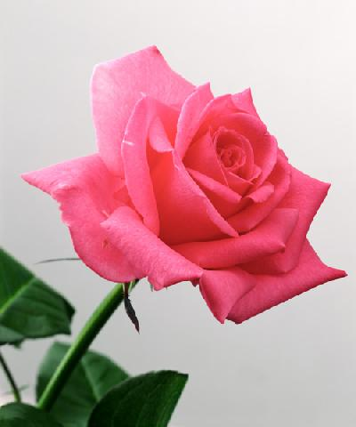 Pink Rose, 2005 (colour photo)