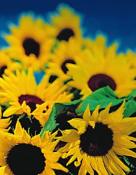 Sunflower relief, 1999 (colour photo)